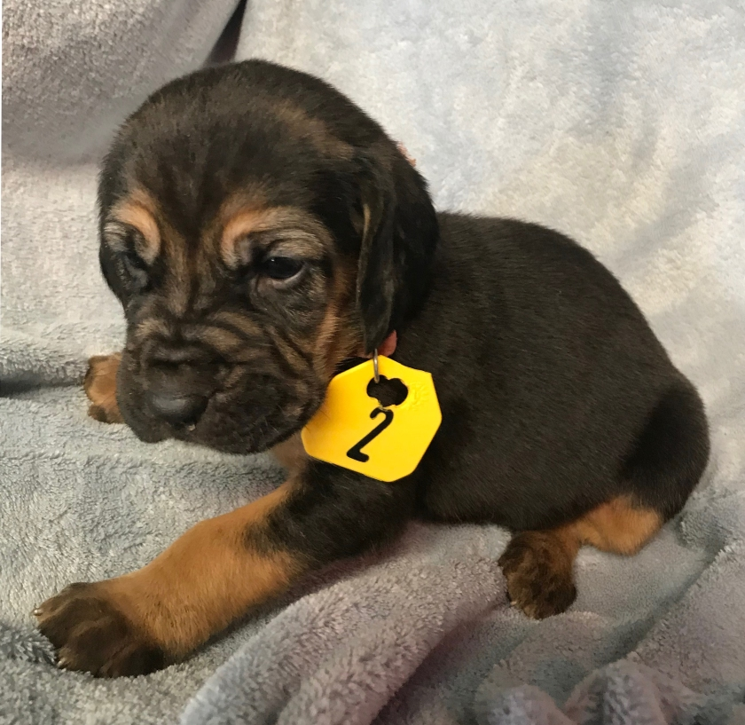 Litter of AKC Registered Bloodhound Puppies – TNT Texas Bloodhounds